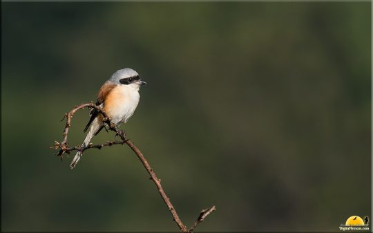 Bay backed Shrike, Bangalore