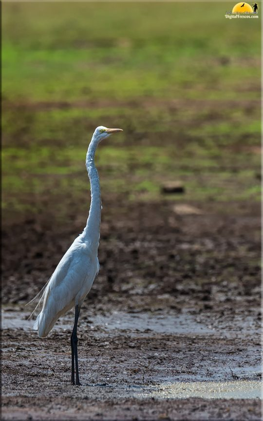 Great Egret, Kabini