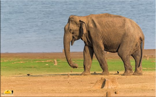 Makhna Elephant, Kabini backwaters