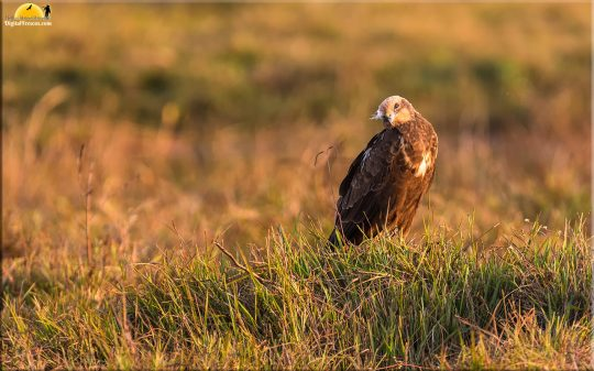 Marsh harrier female, Bangalore