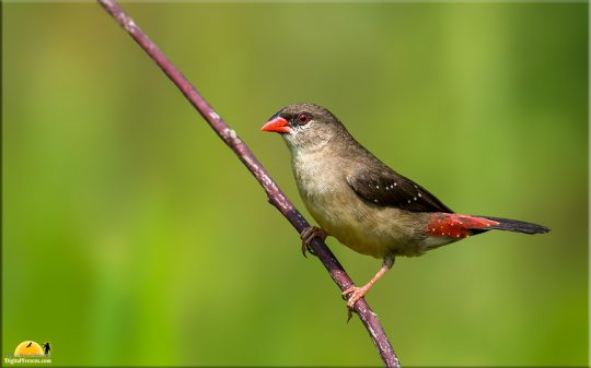Red Munia - Female, Bangalore