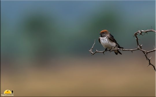 Streak Throated Swallow, Bangalore