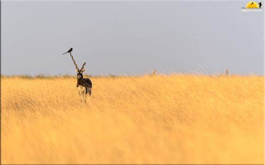 Goldengrass, Blackbuck & Drongo