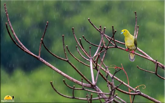 Wedge-tailed green pigeon in the rain